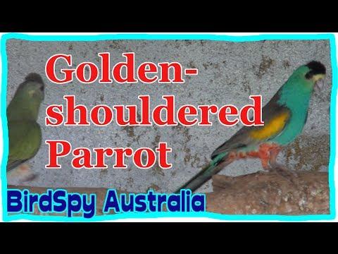 Golden-shouldered Parrot   BirdSpyAus