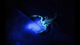 UHV Scorpion Hunt - Expedition Borneo - BBC