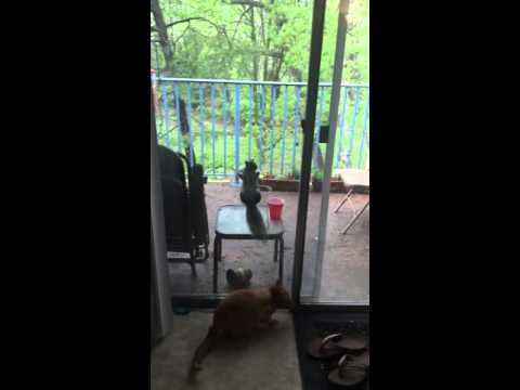 Squirrel Taunting Cat From Behind Glass