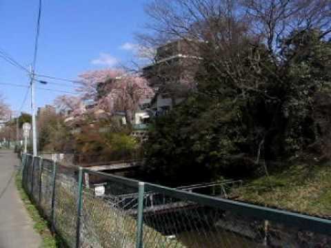 仙台 七郷堀の桜