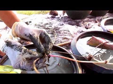 สอนการปลูกบัวและจำหน่ายบัวเพื่อทำการทำนาบัวแบบมืออาชีพ
