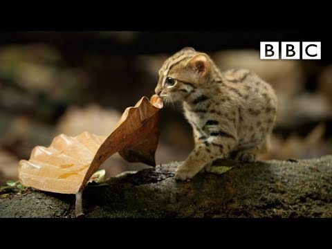 The Smallest Cat in the World [BBC documentary clip]