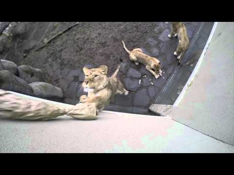 Lions Play With Giant Cat Toy At Oregon Zoo