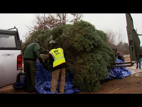Cutting the state's official Christmas Tree.