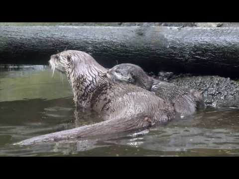 Baby River Otter Learns How to Swim From Mom