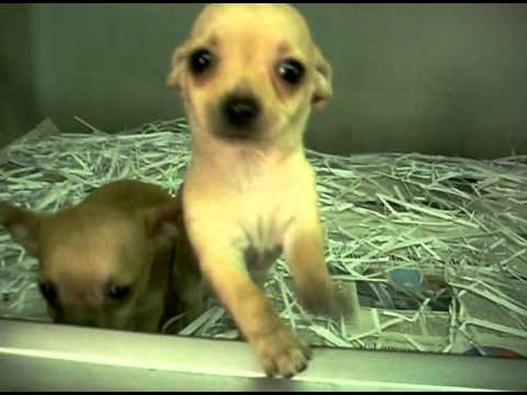 Teacup Chihuahua Puppies for Sale- from Dog's House Formia