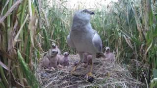 Online versie met subtitles voor (social) media; broedvogel in Nederland!