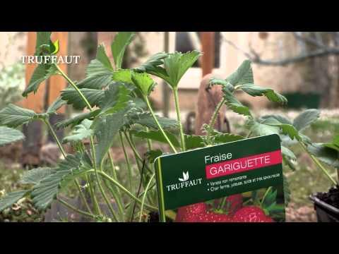 Quelles variétés de fraisiers choisir ? - Jardinerie Truffaut TV