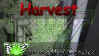 Harvest: Toxic Lord, day 62 by  NVClosetMedGrower