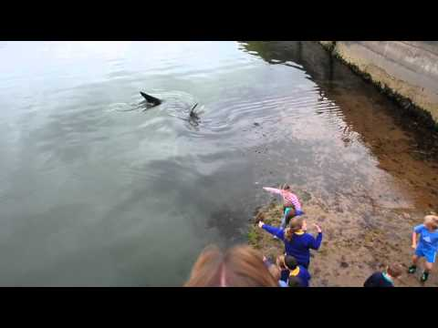 Shark in Portrush Harbour (Northern Ireland)