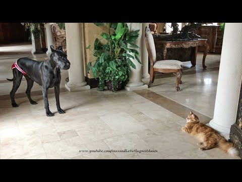 Great Dane Wishes Cat Siblings Jack and Ally Happy Birthday