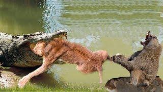 Video LIVE: Big mistake of TIGER when hunting the Giant ANACONDA! Tiger vs Anaconda, Hyena vs Lion MP3, 3GP, MP4, WEBM, AVI, FLV November 2018