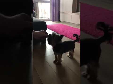 Pies, który nie lubi Kaczyńskiego.