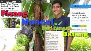 Video Heboh....!!! pisang muncul dari tengah Batang| @sahabatgarden.id MP3, 3GP, MP4, WEBM, AVI, FLV Desember 2018