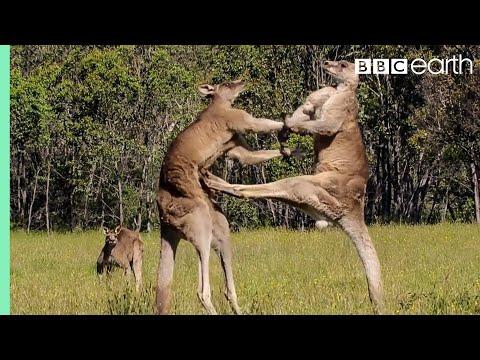 Kangaroo Boxing Fight | Life Story | BBC Earth