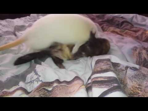 Ferrets Fighting.mp4
