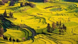 China's Fields of Gold. Vast rolling seas of golden canola flowers make the are around QuJing, LuoPing County, YunNan province, near the start of the Pearl River (China`s third longest), a tourist hot-spot each autumn.    A GCTN Travelogue ...