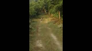 Corbett India  city photos : Tiger attacking - Jhirna Gate, Jim Corbett, India on 16/Oct/2016