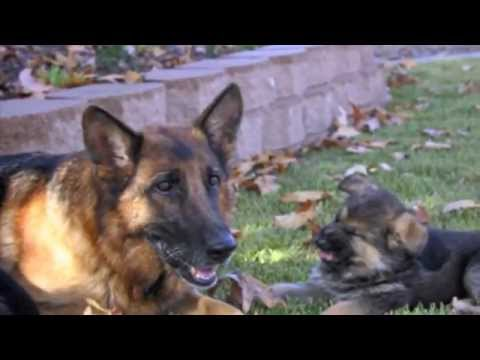 dog training - Best Puppy Training Video! Watch how these cute puppies are trained using positive & motivational methods. Professional breeders of German Shepherds who sele...