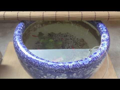 金魚を火鉢で飼う(更紗和金)