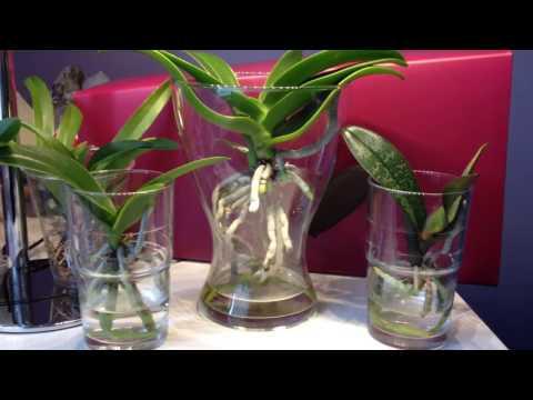 Phalaenopsis Orchideen im Wasser / FWC / Orchid