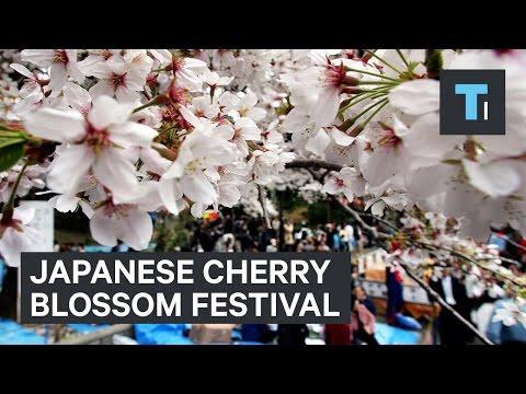 Inside the Cherry Blossom Festival of Japan