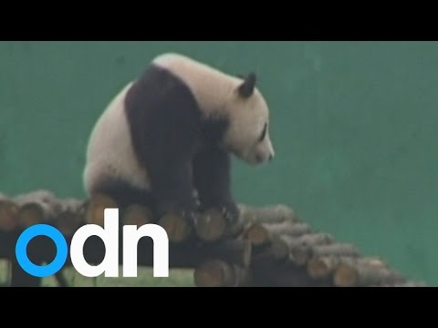 celebrates - A male giant panda in China has been celebrating his third birthday with a special cake made out of fruit and bamboo. . Report by Sarah Kerr.