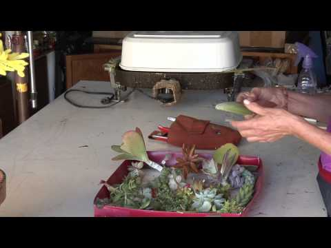 how to transplant indoor succulents