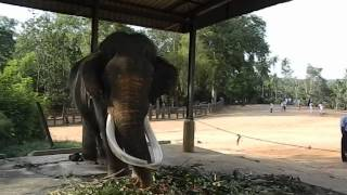 Pinnawala Sri Lanka  City new picture : BLIND ELEPHANT OF PINNAWALA SRILANKA