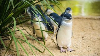 Phillip Island Australia  City new picture : Melbourne - Phillip Island Little Penguins Parade