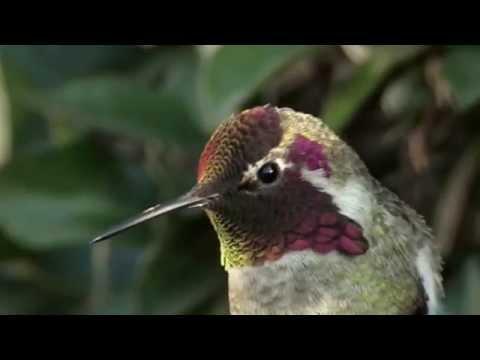 這隻蜂鳥以為自己是一隻變色龍....天啊!它真的在變顏色!