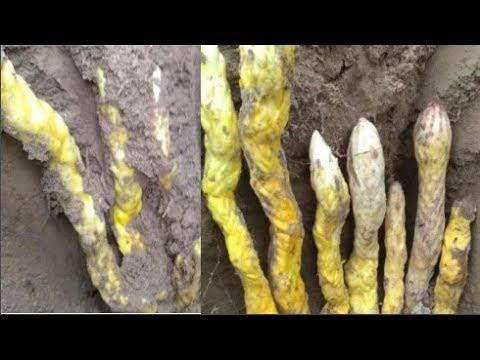 Đang đào gốc cây, vứt cuốc bỏ chạy tưởng rắn nhưng quay lại ngay sau đó vì biết mình sắp giàu to - Thời lượng: 4:50.