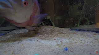 """Whats up everyone today in this episode I wanted to show you fishing anglers my pet Cichlid!!! I have had this fish for about 4 years and it has grown into a monster!!!!!!!!!LURES I USEStorm Live kicking Minnow-https://goo.gl/CbMb6MMatzuo Ikari lipless crankbait- https://goo.gl/RBPTdyStorm 3"""" Wildeye Bluegill-https://goo.gl/APLKxCDUCK LURE-https://goo.gl/jMYCz1SUNFISH LURE-https://goo.gl/GhTpRcDOUBLE PLOPPER- https://goo.gl/lVmOaUROD AND REELSMACH 1 Speed Spool Combo- https://goo.gl/ibmLGlMACH 2 REEL- https://goo.gl/th3A2yGhost Ducket rod- https://goo.gl/G0upkPUgly Stick Combo- https://goo.gl/1kLk7mCamera GearGo Pro Hero 5- https://goo.gl/eUnDgcCannon 70 D with lens- https://goo.gl/hxAeuu*above are amazon associate links*"""