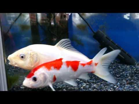 錦鯉 紅白と金