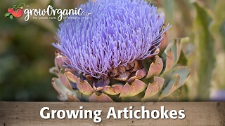Planting and Growing Artichokes