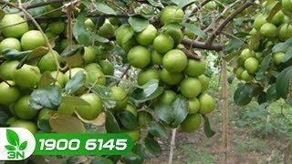 Trồng trọt | Kỹ thuật chăm sóc để cây táo đại đậu nhiều quả
