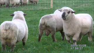 Hampshire Down Stock Rams 2015
