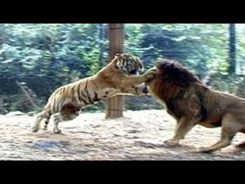 Lion Vs Tiger Real Fight to Death New Original Video HD