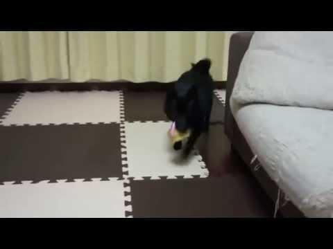 [HD] Schipperke スキッパーキ クー パブロフの犬?