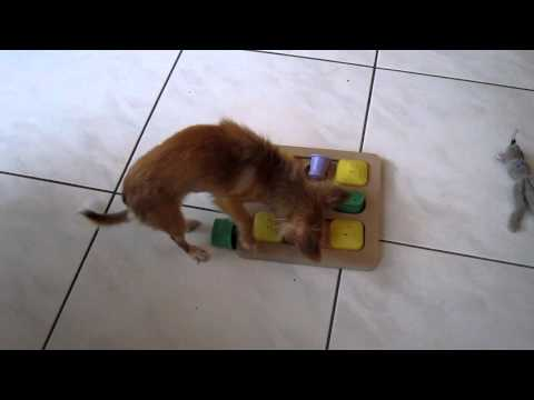 Chihuahua Chica doet doggy brain train quadro van Karlie