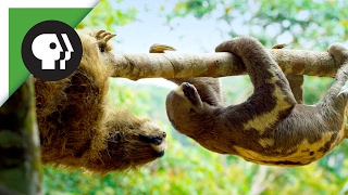 Robot 'Spy Sloth' Meets Real Sloth