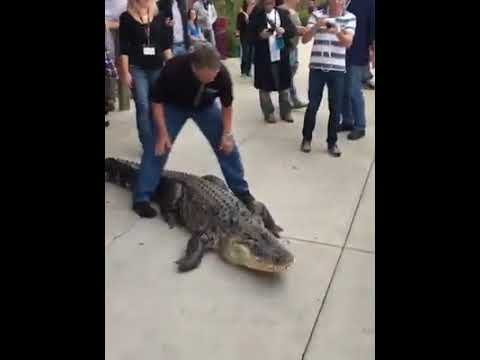 How to train your alligator!