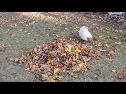 Watch as This Mini Pig Plays In Leaves For The First Time!