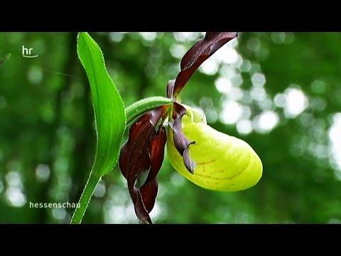 Heimische Orchideen: Orchideen auf heimischen Wiese ...