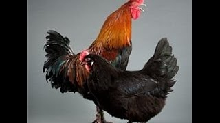 Маран порода кур – описание
