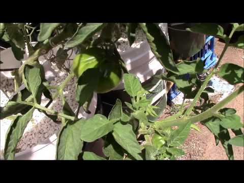 how to transplant ampalaya