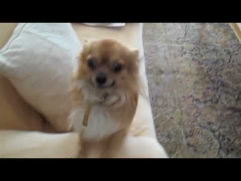 Mouris - the long haired Chihuahua (видео)