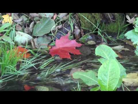♫  Роняет клён багряный лист... - Андрей Обидин.  Andrei Obidin -  The red maple leaf is falling ...