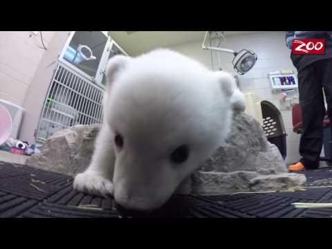 這只小小的北極熊發現泡泡滿天飛時非常好奇,接著牠的反應讓所有人都被萌到對著螢幕傻笑!