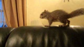 This is my friend's adopted squirrel named Charlie. He was found on the street abandoned at approximately 3 days old and she has reared him to now, about 2 m...